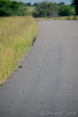 Frogs on road at Kruger NP SA