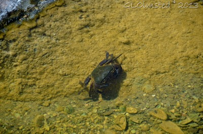 Crab in tidepool Kidds Beach SA