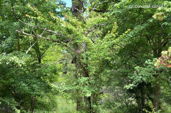 Ginkgo Hogsback Arboretum Hogsback SA