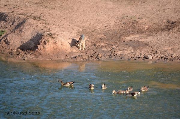 Black-backed Jackal & birds Addo Elephant National Park SA