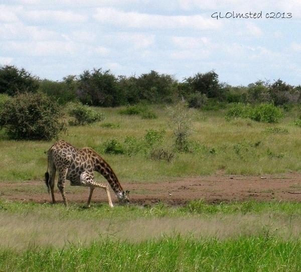 Giraffe drinking water Kruger NP SA