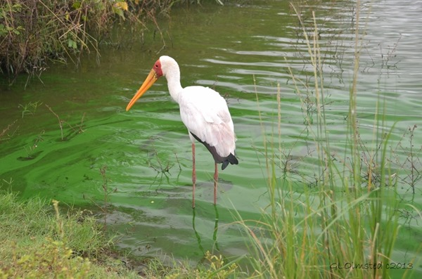 Yellow-billed Stork fishing Kruger NP SA