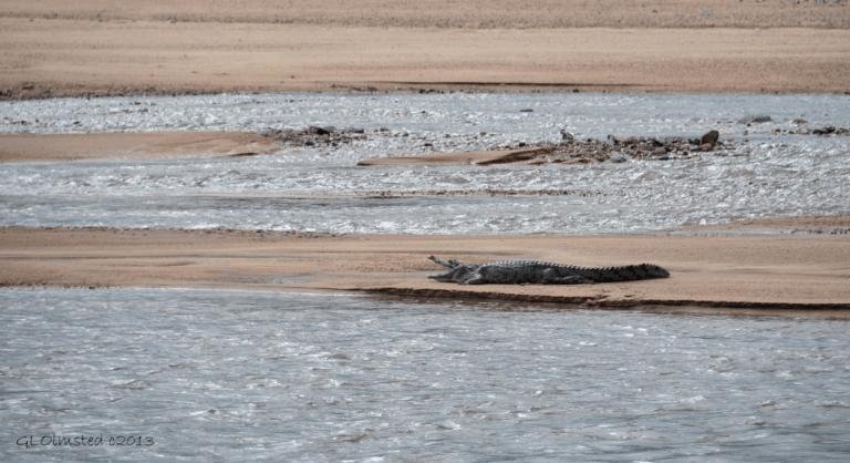Crocodile on sandbar Kruger NP SA