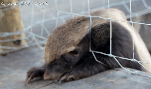 Honey Badger at Tenikwa Wildlife Awareness Centre Plettenberg Bay SA
