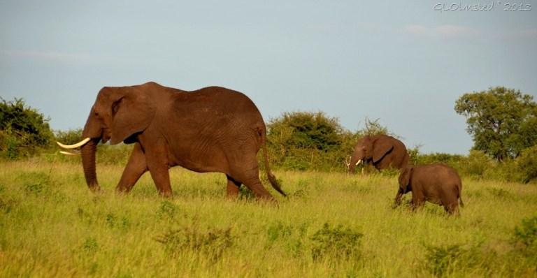 Elephants Kruger NP SA
