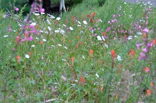 Wildflowers Walhalla Plateau NR GRCA NP AZ