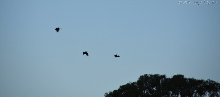 05 3739 Hadedas flying from dam at Rodene Farm Cottages Ceres SA (1024x452)