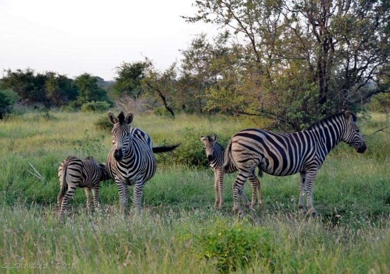 Zebras Kruger NP SA