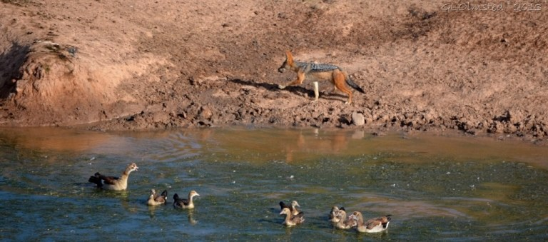 Black-backed Jackal and Egyptian Geese Addo Elephant NP SA