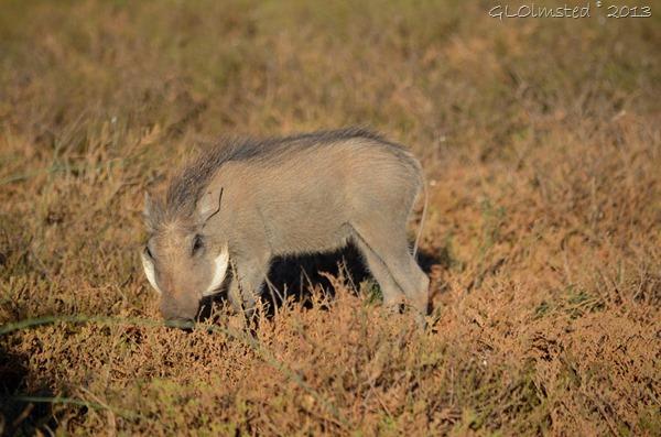 Warthog Addo Elephant NP SA