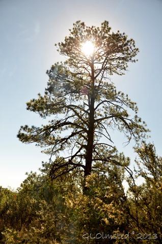Ponderosa Pine Timp Point Kaibab National Forest Arizona