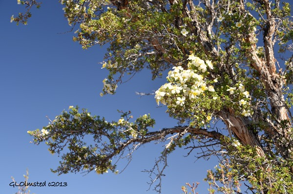 Cliff rose flowers Point Sublime North Rim Grand Canyon National Park Arizona