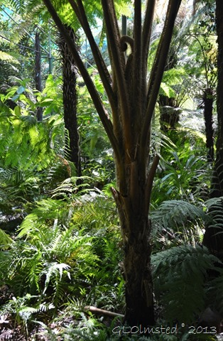 Giant fern Inside large greenhouse Stellenbosch Botanical Garden South Africa