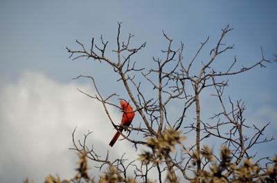 Cardinal Yarnell Arizona