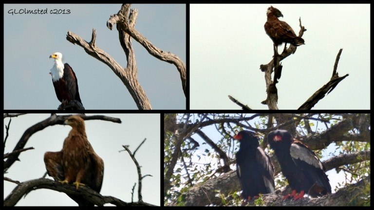 African Fish Eagle, Brown Snake Eagle, Bateleur Eagles and Walberg's Eagle of Kruger National Park South Africa