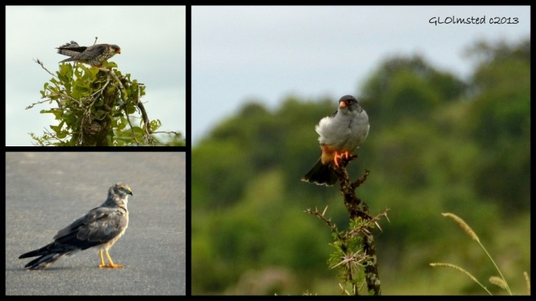 Dark Chanting Goshawk, Red-footed Falcon & Little Sparrow Hawk of Kruger National Park South Africa