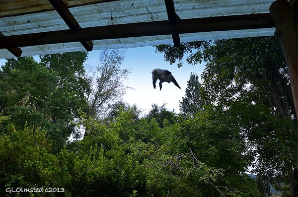 Samango monkey flying off roof Never Daunted Self-catering Cottage Hogsback South Africa