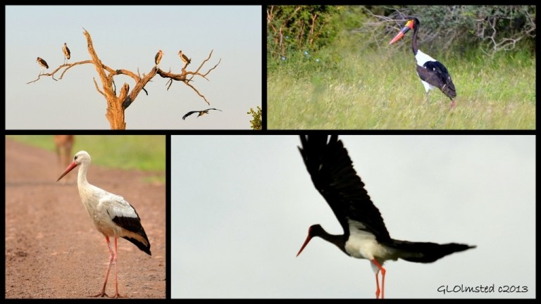 Marabou Storks, Saddle-billed Stork, Black Stork and White Stork of Kruger National Park South Africa