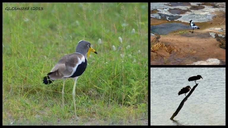 Wattled Lapwing, Blacksmith Lapwing & Hammkops of Kruger National Park South Africa