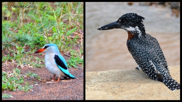 Woodland and Giant Kingfishers of Kruger National Park South Africa