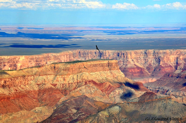 Turkey vultures soaring over Grand Canyon from Point Imperial North Rim Arizona