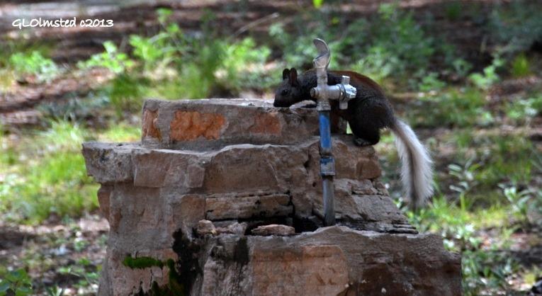 Kaibab squirrel at drinking fountain by campfire area North Rim Grand Canyon National Park Arizona
