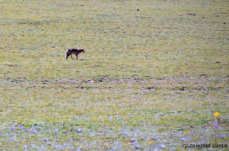 Coyote on meadow North Rim Grand Canyon National Park Arizona