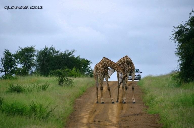 Giraffes Kruger National Park South Africa