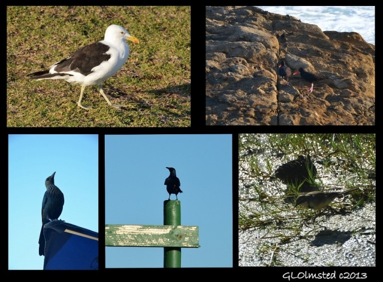 Birds seen at Storms River Mouth Tsitsikamma National Park South Africa