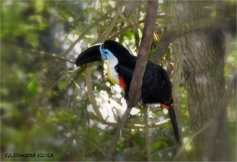 Toucan Birds of Eden Plattenberg Bay South Africa