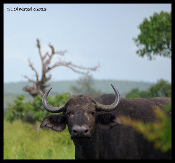 Buffalo Kruger National Park South Africa