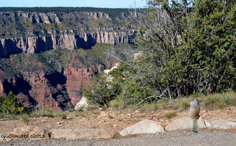 Rock squirrel looking into canyon North Rim Grand Canyon National Park Arizona