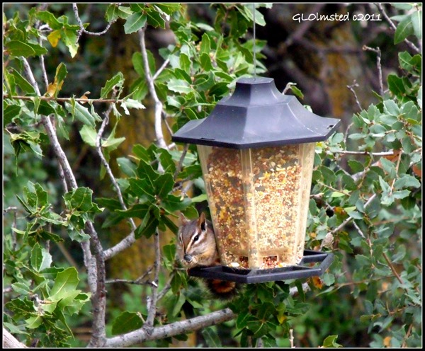 Chipmunk on bird feeder Yarnell Arizona