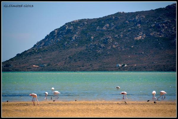 Flamingos along Saldanha Bay West Coast National Park Langebaan South Africa