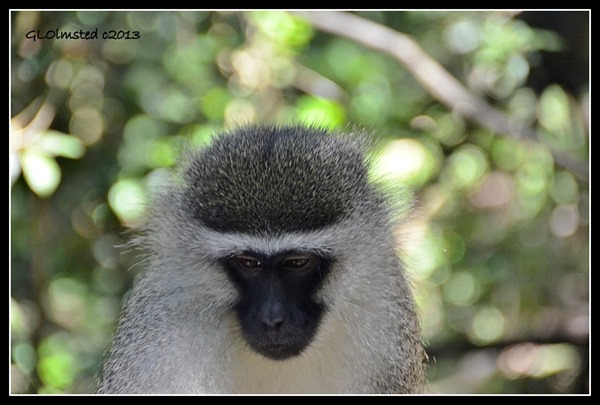 Vervet Monkey at Monkeyland Plattenberg Bay South Africa