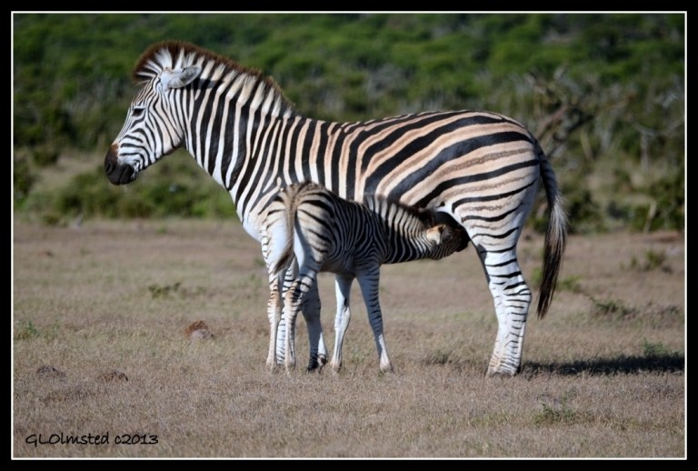Zebras Addo Elephant National Park South Africa