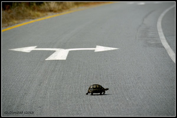 Angulate turtle by turn arrow West Coast National Park Langebaan South Africa