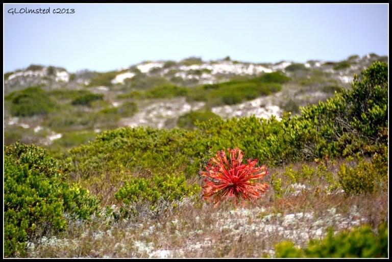Candelabra plant West Coast National Park Langebaan South Africa