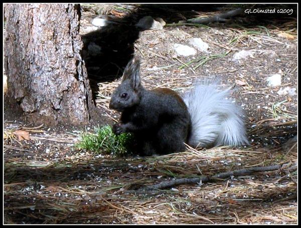 Kaibab squirrel North Rim Grand Canyon National Park Arizona
