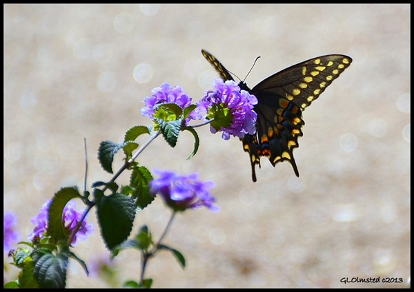 Butterfly on flowers in Donna's yard Congress Arizona