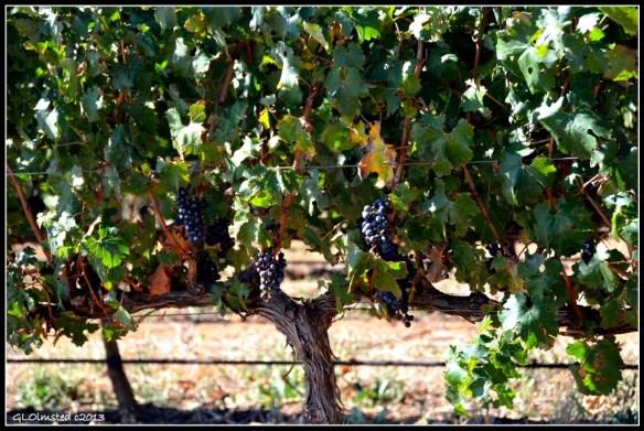 Grapes on the vine Stellenbosch South Africa