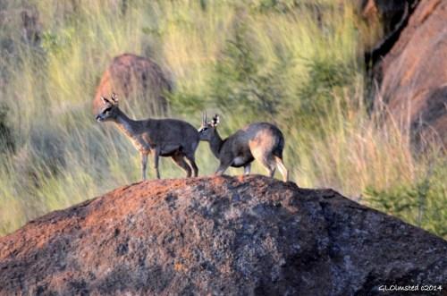 Kliffspringers Pilanesberg Game Reserve South Africa