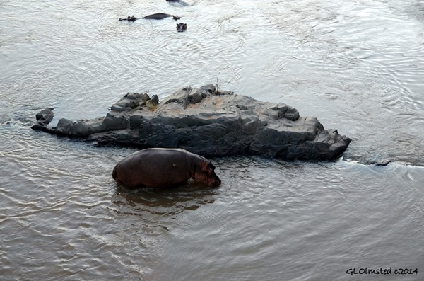 Hippos Letaba River Kruger National Park South Africa
