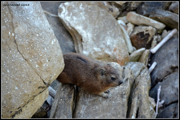 Dassie along Suspension Bridge trail at Storms River Mouth Tsitsikamma National Park South Africa