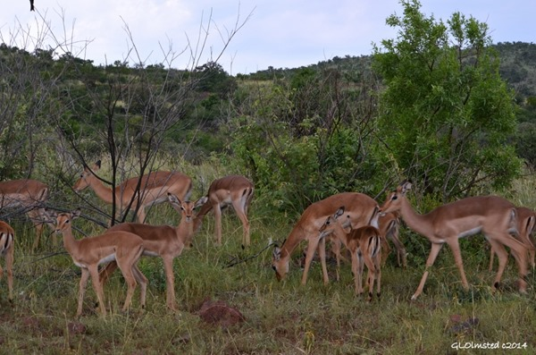 Impala Pilanesberg Game Reserve South Africa