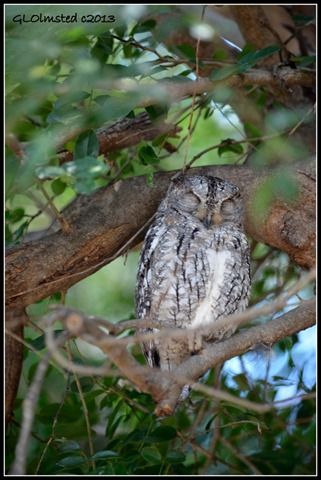 Scops-Owl Kruger National Park South Africa