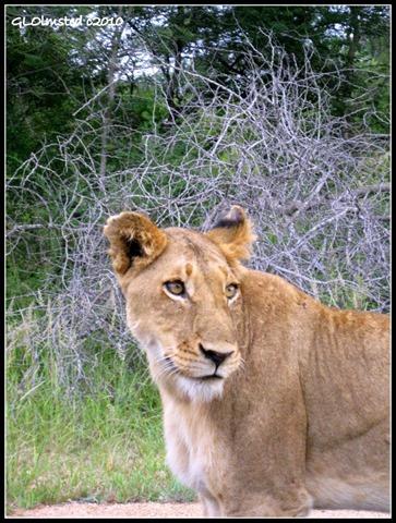 Lioness Kruger National Park South Africa