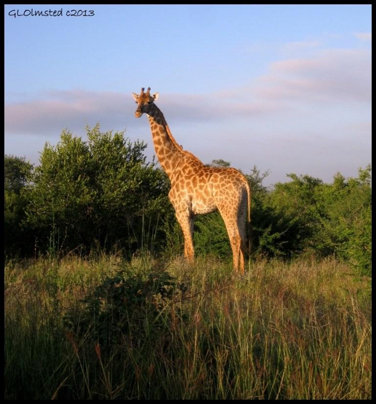 Giraffe Kruger Natioal Park Mpumalanga South Africa