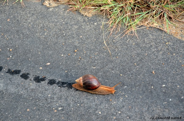 Snail on road Kruger National Park South Africa