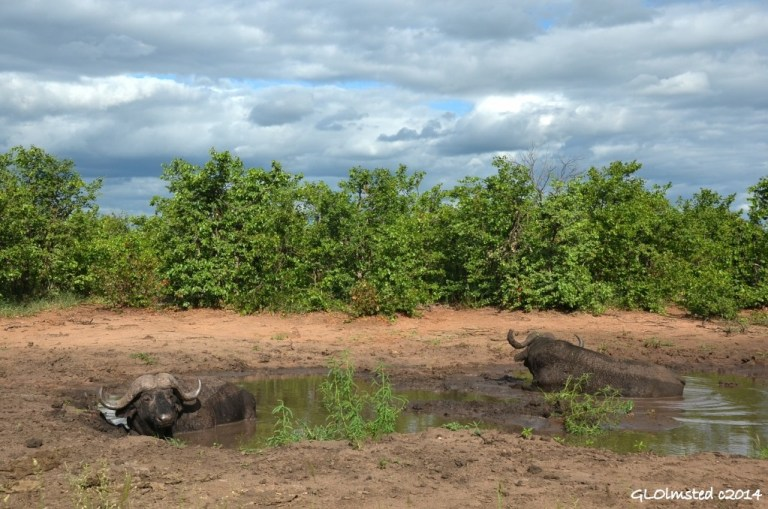 Buffalos in mud pool Kruger National Park South Africa